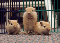 Gerbils - Schimmels by benmckune, on Flickr