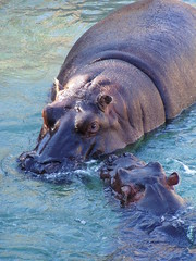 taking care of the small one (Iveta) Tags: blue water beautiful animal wow zoo interestingness wasser fuerteventura explore hippo iveta nilpferd mywinner oasispark impressedbeauty byiveta
