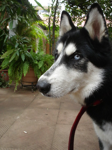 Jazz, the siberian husky