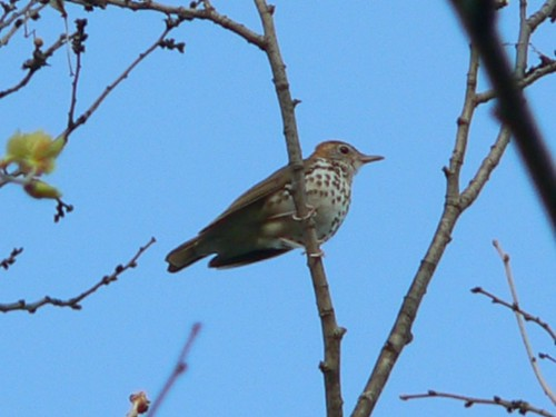 Wood Thrush - Blackhawk Springs Forest Preserve