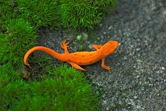 RedEft (The Horned Jack Lizard) Tags: amphibian salamander larvae newt larva eft notophthalmusviridescens redspottednewt redeft easternnewt larval notopthalmusviridescens