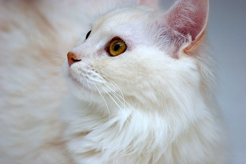 white Persian kitten pictures