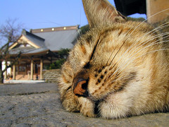 sleeping face (hamapenguin) Tags: sleeping animal japan cat temple kamakura neko  animalplanet straycat    instantfave abigfave impressedbeauty