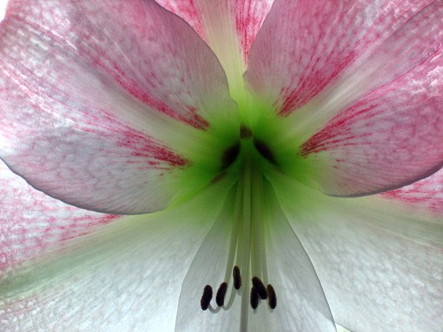 Close up amaryllis