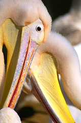 Intimate (Divs Sejpal) Tags: wild india bird eye love nature yellow couple wildlife beak pelican gujarat divs divyesh sejpal impressedbeauty bsbvalentine