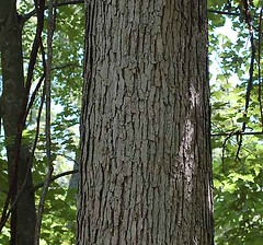 The bark of white oak