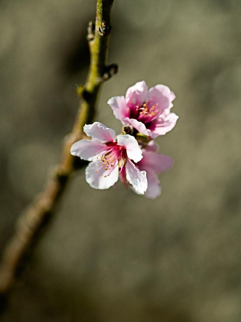 Spring Blossoms 1