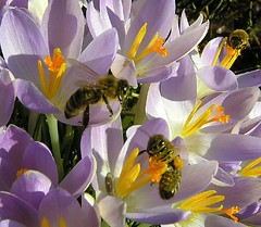 Botanische Krokusse (multiflora) Tags: flower garden crocus bee krokus naturesfinest specnature abigfave anawesomeshot impressedbeauty