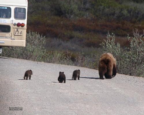 Denali Cubs