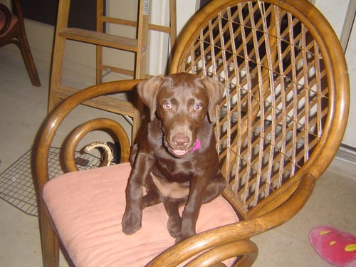 Princess Daisy Lerma - chocolate labrador puppy
