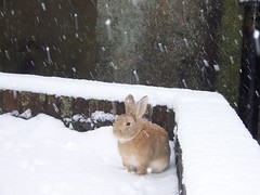 Rusty in the snow 2 (killaypetshop) Tags: winter snow cute rabbit bunny adorable rusty snowing naturesfinest