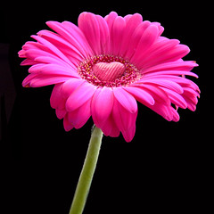 Chocolate heart on a pink gerbera daisy flower for you! (square)