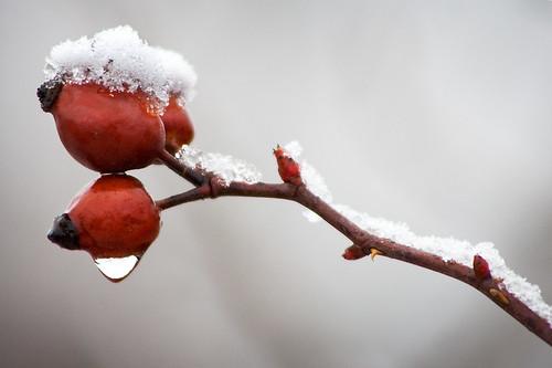 Winter Dog Rose by FotoBob#.