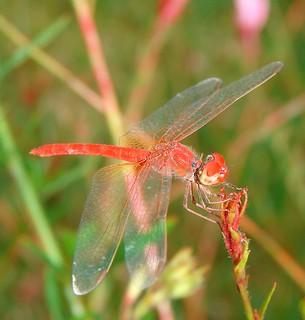 Fiery Skimmer Dragonfly ?