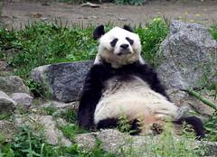 Panda (C) 2006
