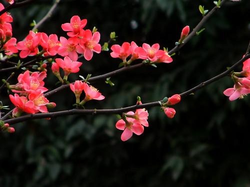 红杏枝头闹 by Descin.