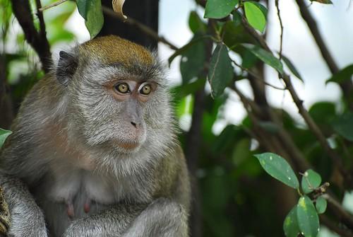 Monkey Nipples