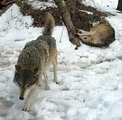 Timber wolves IMG_3208 (OZinOH) Tags: columbuszoo columbus ohio snow zoo explore columbusohio wolves columbusoh timberwolves naturesfinest a610126mm
