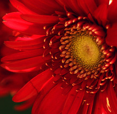 Here Comes The Sun (linda yvonne) Tags: red flower closeup beatles gerberadaisy naturesfinest fantasticflowers excellenceinfloralphotography herecomesthesun interestingness14 i500 imagekind abigfave lindayvonne anawesomeshot anawsomeshot impressedbeauty songref flickrplatinum sunsunsunhereitcomes