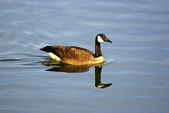 Goose! (Flutterbye_856) Tags: reflection nature water birds ilovenature goose waterbirds municipalpark blueribbonwinner specnature specanimal