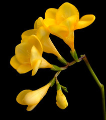 Fantastic Freesia! (Vanda's Pictures) Tags: flower yellow vanda freesia excellence fantasticflowers lovephotography abigfave superbmasterpiece