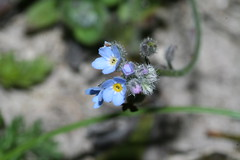 534549103 Forget-me-not 2007-06-06_19:30:45 Aston_Rowant
