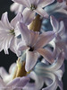 Hyazinten (Zenergy Photography) Tags: blume flower makro hyazinthe lila pflanze