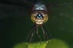 blue furaiyaa (CKC_4979) (Zichar) Tags: bluedasher botanicalgardens brachydiplaxchalybea dragonfly macro singapore