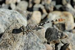 Paragomphus siniaticus (Bob Reimer) Tags: dragonflies fieldtrip oman odonata aboul nikonstunninggallery enhg paragomphussiniaticus wilayatmahdah