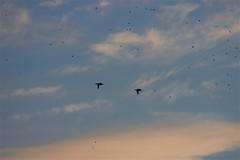 Flying High Again Ⅰ (mightyquinninwky) Tags: trees sky water clouds reflections evening inflight december kentucky ducks lexingtonky richmondroad waterfowl waterbirds fayettecounty centralkentucky ellserlielake