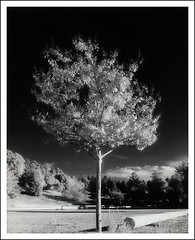 a tree (cassandi) Tags: california tree by with x d76 infrared felton atree nikonn90s kodakhie treesubject 8x12print orientalvc sandiwright cassandrawright