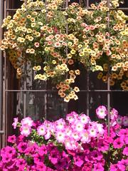 Cascata di Surfinie (Luigi Strano) Tags: flowers flores fleurs garden blossoms blumen blooms fiori bungabunga maua bloemen blomster bulaklak hoa petunie flors iekler flori  kvtiny  geles lule virgok blom kukat cvijee lilled surfinie blomme viragok   ziedi   schedebotaniche botanicalnotes kbetki kuety