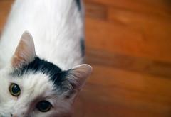 the scraphunter (JKnig) Tags: face cat floor felix bokeh hardwoodfloor speedlite notmycat