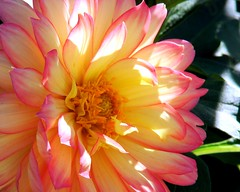 Dahlia (StGrundy) Tags: pink dahlia atlanta orange usa sunlight flower nature floral colors yellow gardens georgia botanical bright sony explore dappled atlantabotanicalgarden explored dsch2 superhearts thefinalcrown superperfectphotographer platinumheartshalloffame tophonorphotographerparadise eliteofflickrsawesomeblossoms