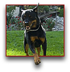 Knows No Boundaries! (RottieLover) Tags: christmas dog pet pets dogs animal animals nikon rottweiler d200 rottie nero rottweilers oob 18200mm rotties mrsu impressedbeauty hohohohat