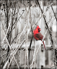 Red Warbler (dee_r) Tags: male bird birds cardinal excellence featheryfriday pdpnw