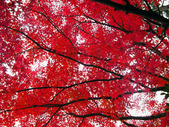 Passionate tree on a cloudy day (aurelio.asiain) Tags: autumn red tree nature topf25 beauty japan catchycolors rouge interestingness rojo kyoto branches seasonal explore momiji passion vermell rosso redleaves japn  cotcmostfavorited   i500 bonzag aurelioasiain aplusphoto ionushi asiain mexicaninjapan reyesheroles theasiaingallery highestposition2onsaturdayseptember12007 world100f  milvistas