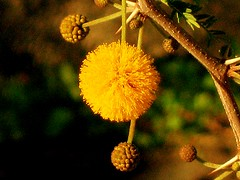 tiny companions are always welcome... (poly_mnia) Tags: brown colour green yellow ball colours athens greece smell acacia fragrance odour hellinikon gazia makeonesday dearflickrfriend solittletomakesomeonehappy ornamentsforyourtree
