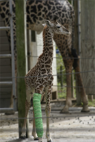 baby giraffe in cast