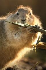 The magic flute (hvhe1) Tags: nature animal animals bravo wildlife flute prairiedog interestingness6 superfav instantfave specanimal abigfave hvhe1 hennievanheerden impressedbeauty