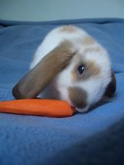 Mochi still eating carrot (Romy87) Tags: pets cute bunny bunnies carrot mochi rabbits kaninchen hasen widder widderkaninchen lops
