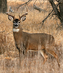 ...South Dakota Whitetail... (Random Images from The Heartland) Tags: nature southdakota ilovenature wildlife deer wetlands animalkingdom whitetaildeer animalkingdomelite buckinrut