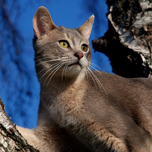 Abyssinian cat Wallpapers
