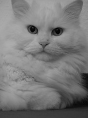 Emilly (mauzlover) Tags: white black cat persian emily feline chat longhair kitty katze emilly bestofcats mauzlover