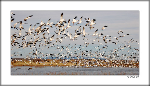 1000 snow geese taking off 1