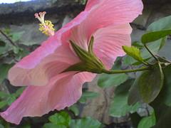 Sembaruthi (Tamil: ) (dinesh_valke) Tags: flora hibiscus malvaceae hibiscusrosasinensis rosemallow shoeflower chinarose tropicalhibiscus chinesehibiscus mallowfamily sembaruthi gurhal chemparati jaswand dosniphool  jubakusumathonba    queenofthetropics