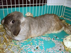 Andora and Pudding (jade_c) Tags: pet rabbit bunny animal mammal rodent singapore pudding poop hamster roborovski opal   dwarfhamster hollandlop andora  lagomorph  roborovskihamster opalhollandlop phodopusroborovskii whitefaceroborovskihamster