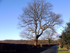 oak tree on broadoak lane copy