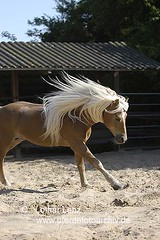 haflinger (55) (Lothar Lenz) Tags: horse caballo cheval cavalo pferd hest equus paard haflinger hst hestur konj hobu zirgs lotharlenz