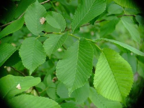 elm tree identification by bark. Elms, like other shade trees,